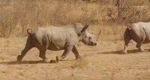 rhinoceros iot
