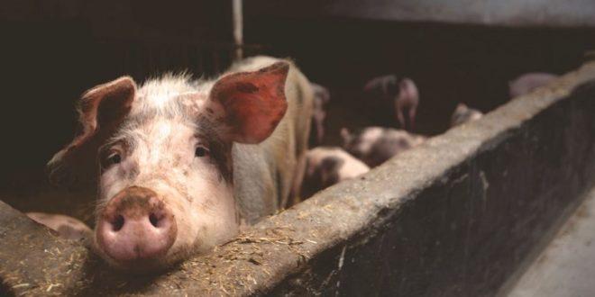 Cochon connecté : une solution IoT pour la santé animalière