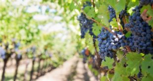 vin fermentation vigne