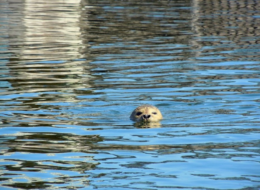 animaux marins phoque