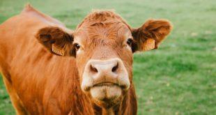 une vache du limousin