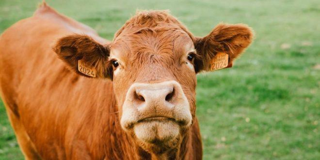 COWnect : des colliers connectés pour améliorer les performances des élevages bovins